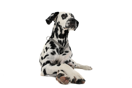 cross legs: cute dalmatians lying with crossed legs in white background photo studio