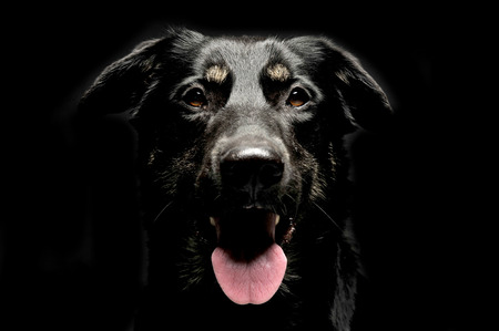 mixed breed black dog portrait in dark background studio