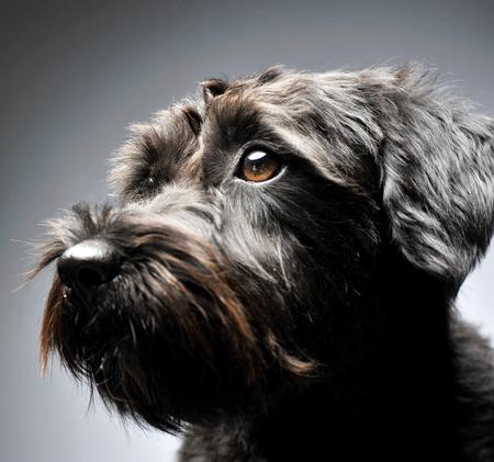 nice black mutt dog portait in gray studio