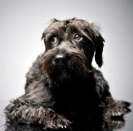 sad mixed breed wired hair dog lying in studio