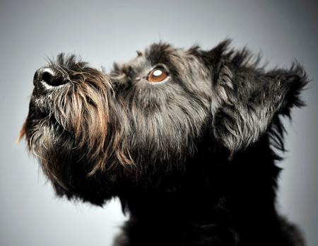 niceblack mutt dog portait in gray studio