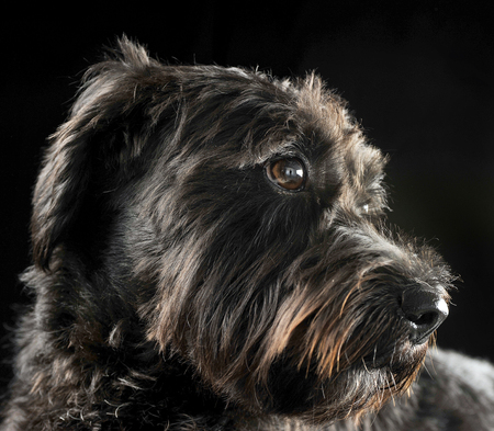 mixed breed wired hair dog portrait in black studio background