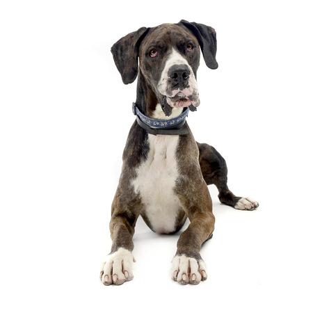 deutsche dogge: Deutsche Dogge in the isolated white background
