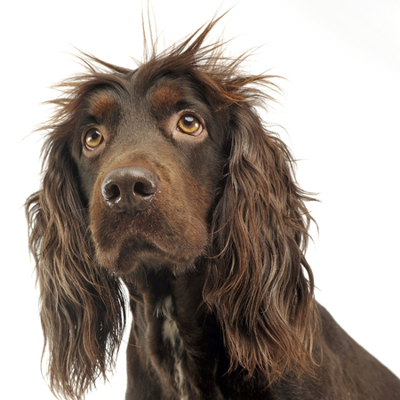 American Cocker Spaniel in a white photo studio