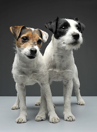 cross legs: Two Parson Russell Terriers staying with cross legs in the gray photo studio