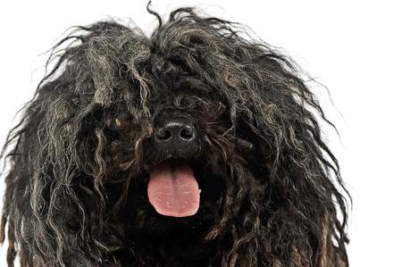 furry animals: feliz Puli disfrutar del estudio de la foto en blanco Foto de archivo