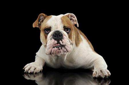 English Bulldog relaxing  in the dark studio Stock Photo
