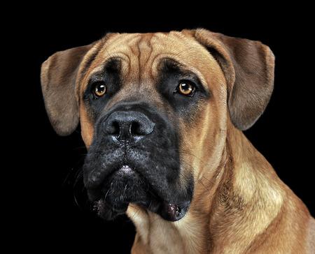 cane corso: Beautiful puppy Cane Corso portrait in a black photo background