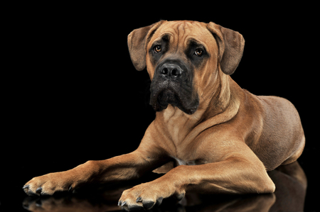 cane corso: Beautiful puppy Cane Corso lying in a black photo background