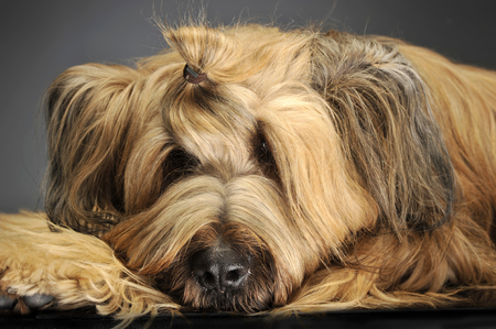 berger: Berger de Brie posing in a grey photo studio