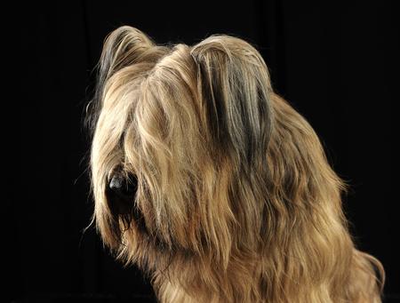berger: Berger de Brie posing in a dark photo studio