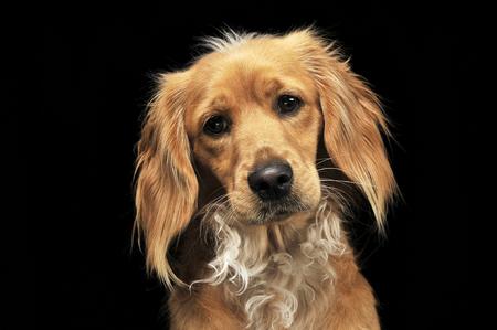 nice brown mutt dog portait in dark studio Stock Photo