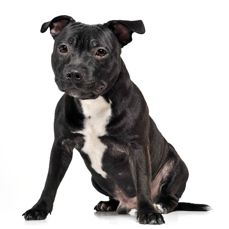Staffordshire bull terrier sitting in a white studio floor