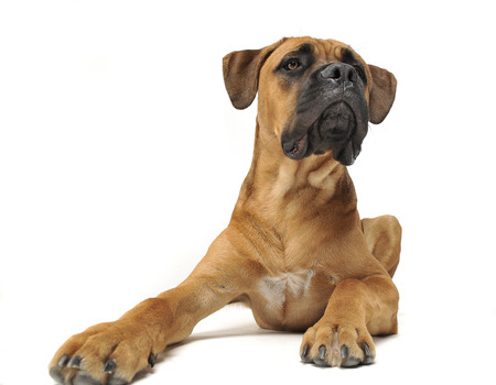 Puppy Cane Corso in white background photo studio Stock Photo