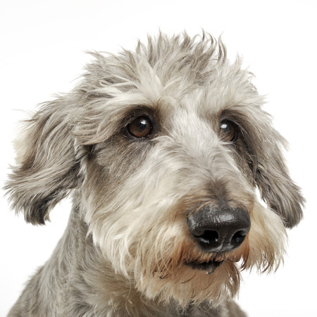 wired: Wired hair dachshund portrait in white background