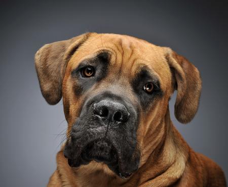 cane corso: Puppy Cane Corso portrait in gray background photo studio