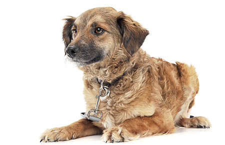 Mixed breed brown dog portre in white studio