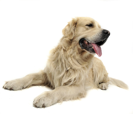 Sweet Golden Retriever in a white studio background Stock Photo