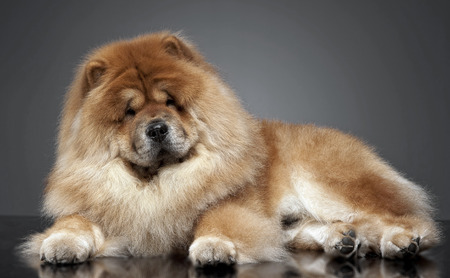 chow: Chow chow in a gray photo studio
