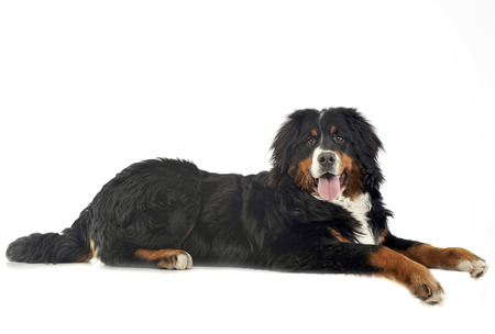 bernese: Bernese Mountain Dog in the white photo studio