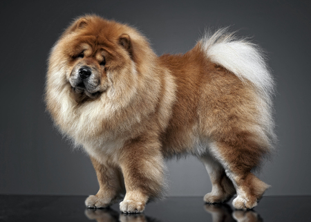 other keywords: Beautiful chow chow posing in a photo studio
