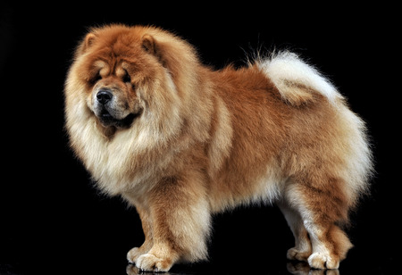 Beautiful chow chow posing in a photo studio