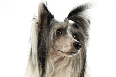 chinese crested dog portrait in a white studio