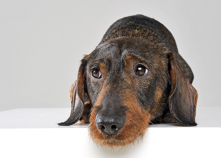 wired: Cute wired hair dachshund in a white photo studio