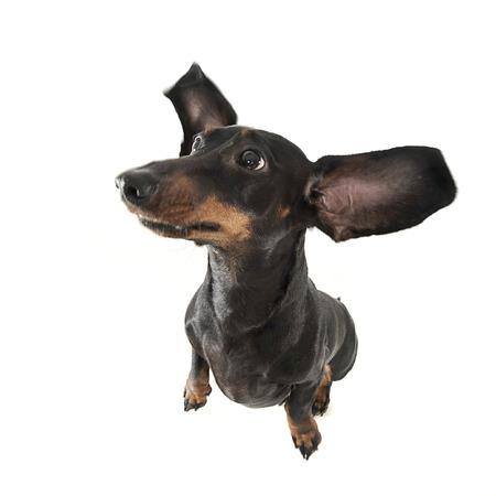 Cute smoot hair dachshund in a white photo studio