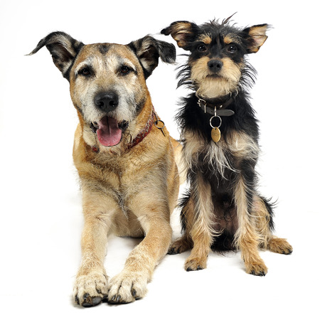 Two mixed breed funny dog in a white studio Stock Photo