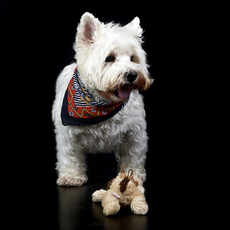 west highland white terrier posing in a photo studio Stock Photo