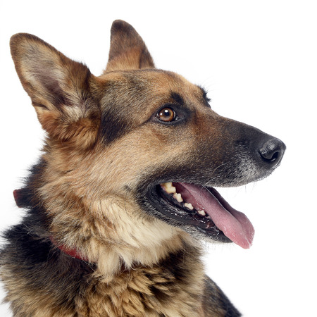 German sherpherd dog posing in a white background studio Stock Photo