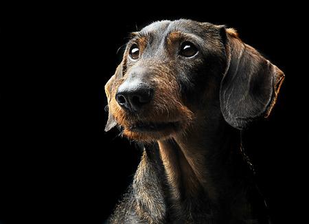 Cute wired hair dachshund portrait in a Black photo studio Stock Photo