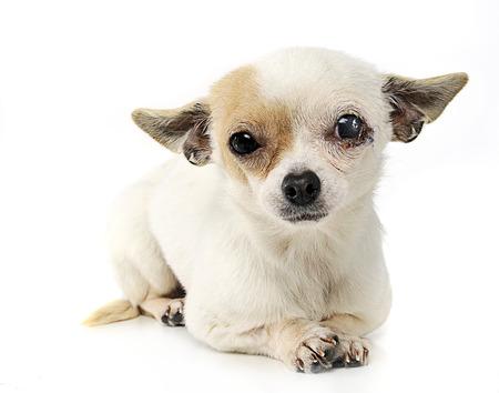sewn: sewn eyes chihuahua in a photo studio