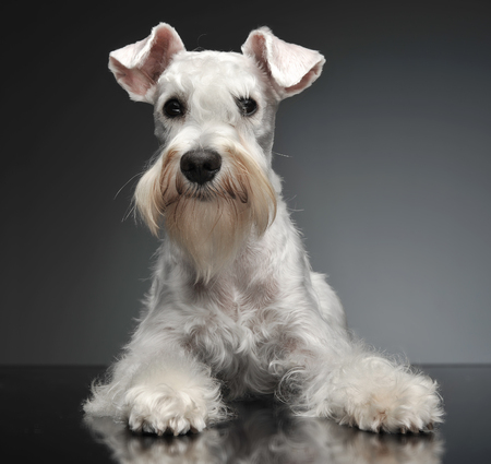sweet white miniature schnauzer in the grey photo studio