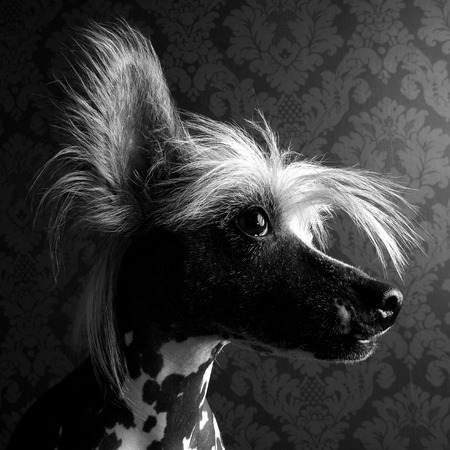 Chinese crested dog head portrait indor