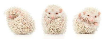 trio: white albino hedgehog trio in white studio Stock Photo