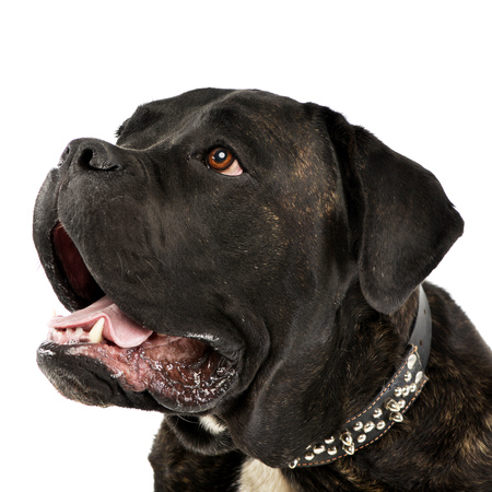 cane collars: Portrait of an adorable Cane corso, studio shot, isolated on white.