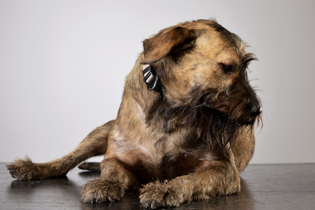 Studio shot of an adorable mixed breed dog lying on grey background.