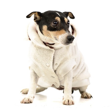 Studio shot of a dressed mixed breed dog sitting on white background.