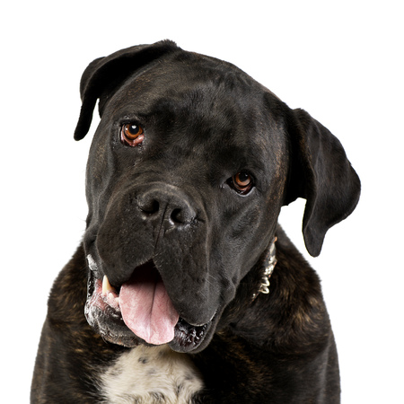 Portrait of an adorable Cane corso, studio shot, isolated on white.