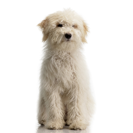 Studio shot of a cute Tibetan Terrier puppy sitting on white background.