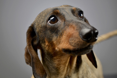Portrait of an adorable short haired Dachshund, studio shot, isolated on grey.