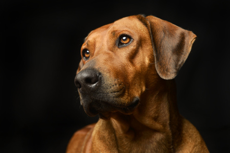 Beautiful Rhodesian Ridgeback Black Adorable Dog - 77463263-portrait-of-an-adorable-rhodesian-ridgeback-studio-shot-isolated-on-black  Pic_307226  .jpg?ver\u003d6