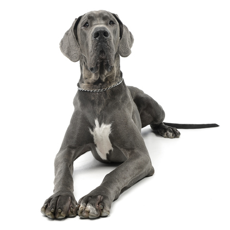 Studio shot of an adorable Great Dane dog lying on white background. Standard-Bild