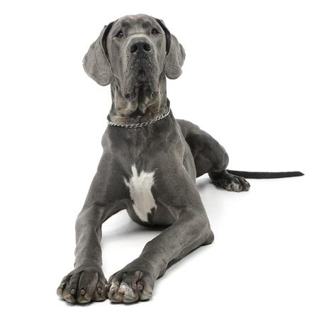 Photo de Studio d'un chien adorable Great Dane allongé sur fond blanc. Banque d'images - 77463286
