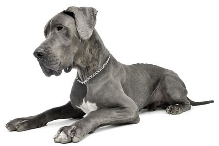 Studio , coup d & # 39 ; un vieux chien dalmatien couché sur fond blanc Banque d'images - 77463287