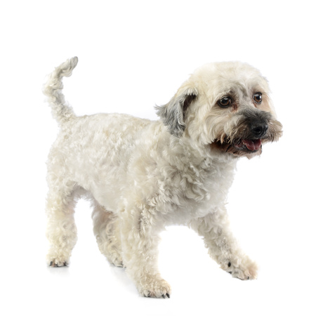 Studio shot of an adorable Havanese dog standing on white background.
