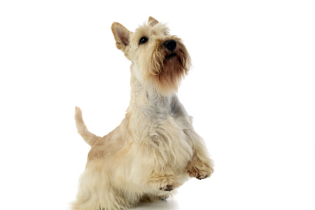 Studio shot of an adorable Scottish terrier standing on two legs, isolated on white.