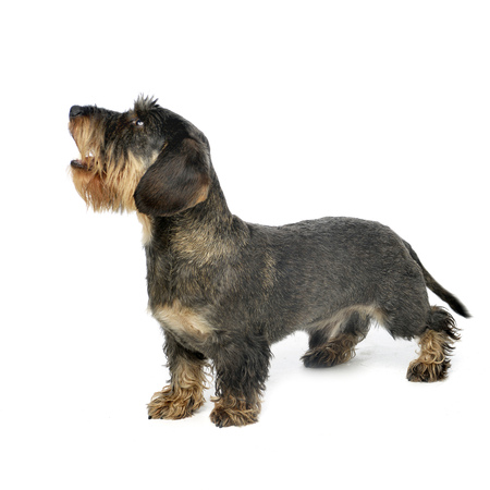 Studio shot of an adorable wire haired Dachshund standing on white background. Stock Photo